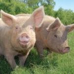 Logo du groupe Producteurs de porcs